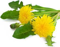 pissenlits-liste-dix-herbes-et-epices-aident-la-perte-de-poids